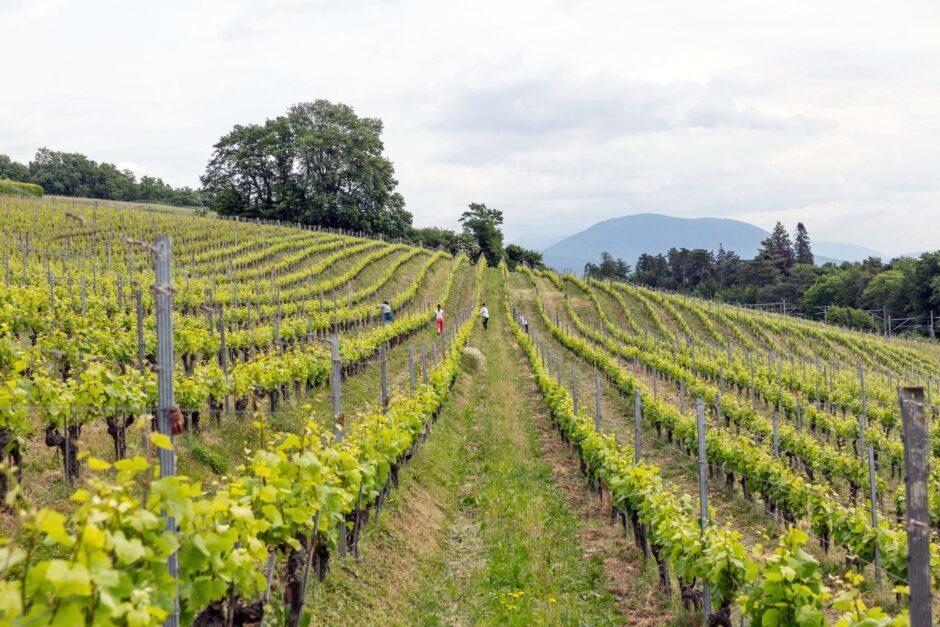 Vignoble de La Béroche
