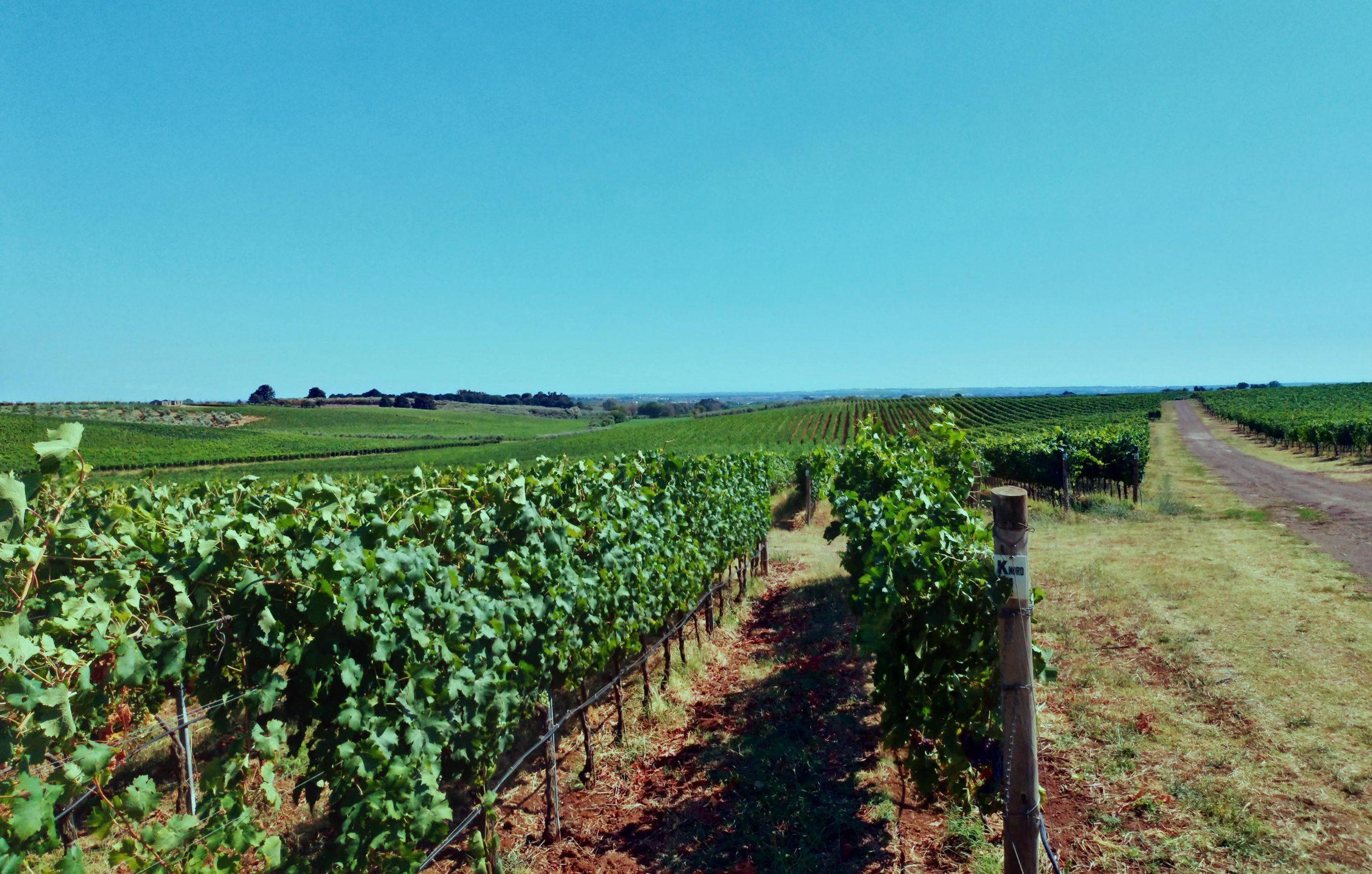 Ômina Romana - vignes
